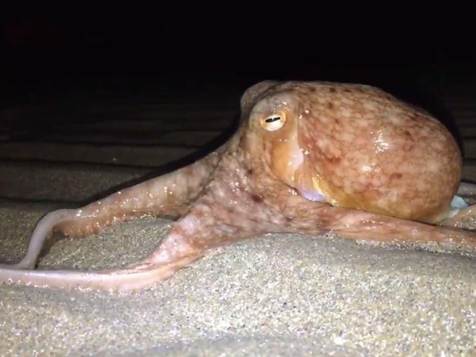 Dozens of OCTOPUSES Spotted Crawling Out of The Water