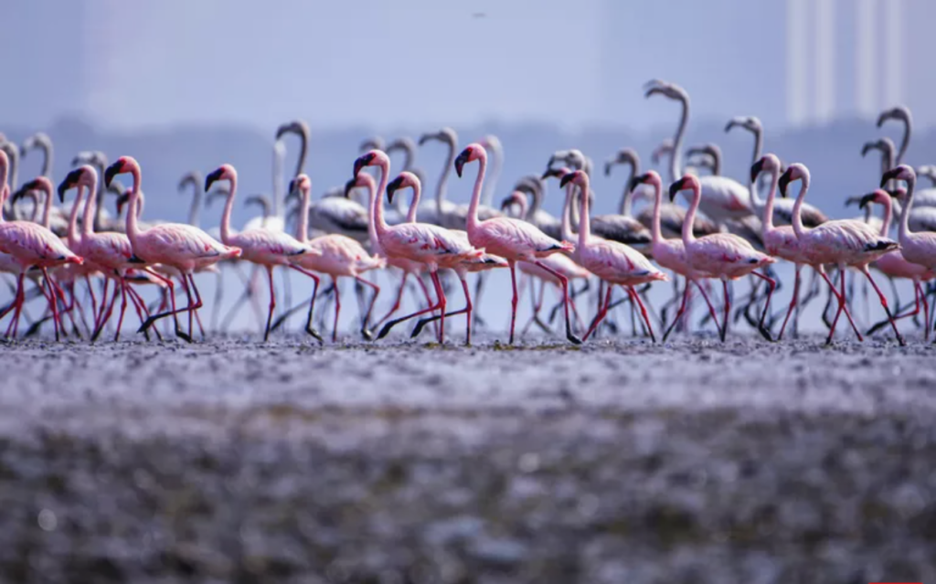 More Flamingos Migrating to MUMBAI due to pollution