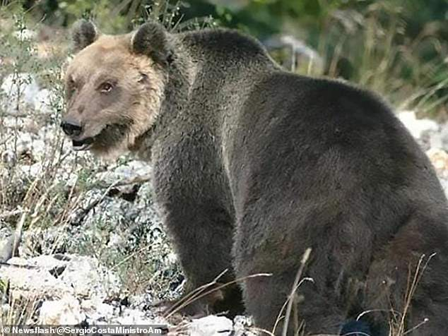 Italian Brown Bear on The Run for 9 Months Finally Captured