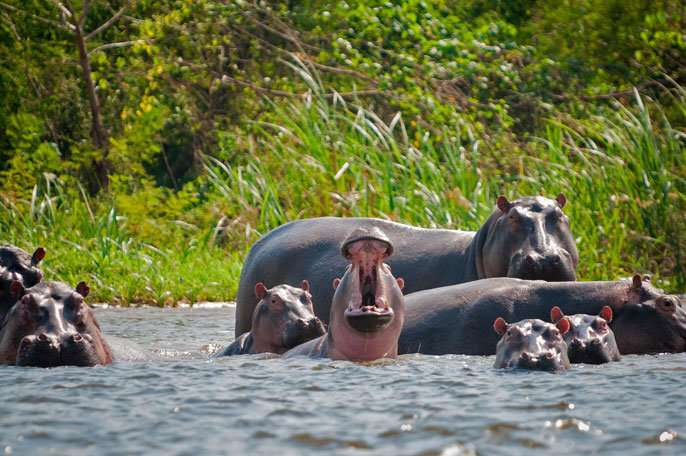 """""""Cocaine Hippos"""" of PABLO ESCOBAR may be helping river ecosystems in Colombia"""