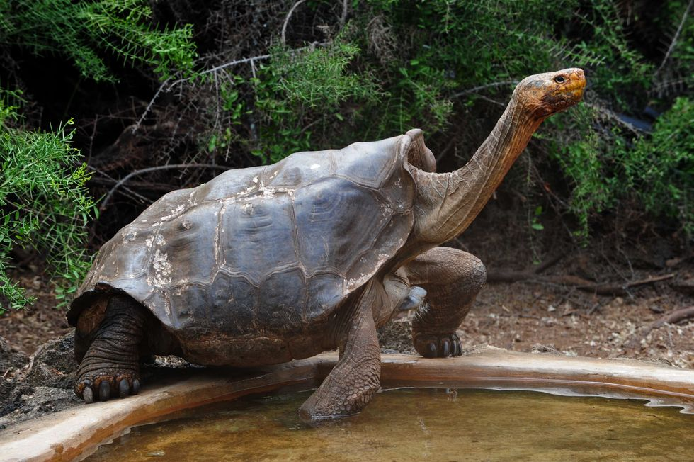 "Giant TORTOISE ""Diego"" Finally Returns Home"