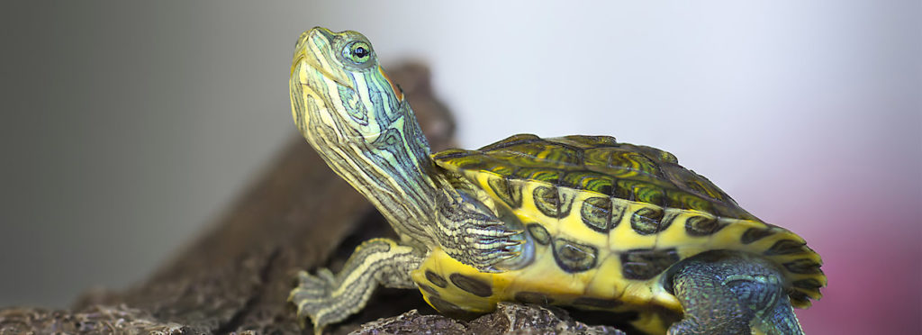 Woman Fined for Taking Her TURTLE a Short Walk