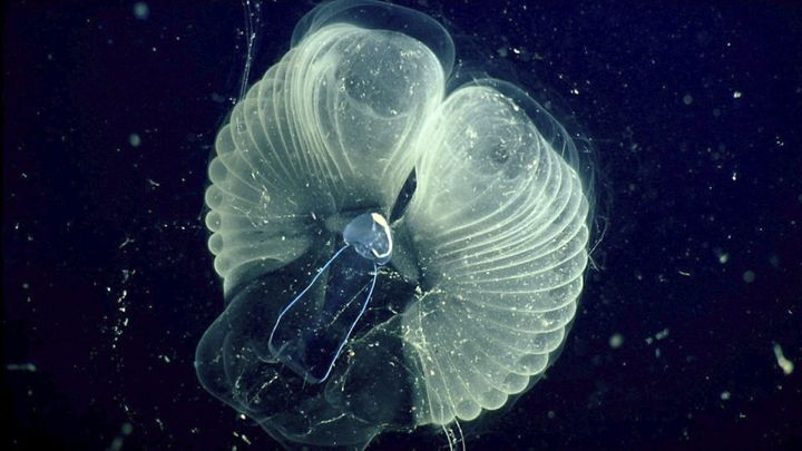 """Tiny Critters Make Ocean """"Snot Palaces"""""""