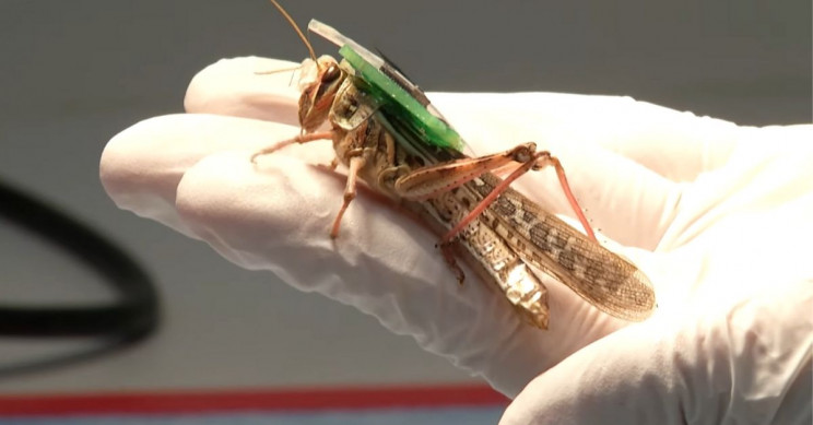 CYBORG Grasshoppers Use to Detect Explosives