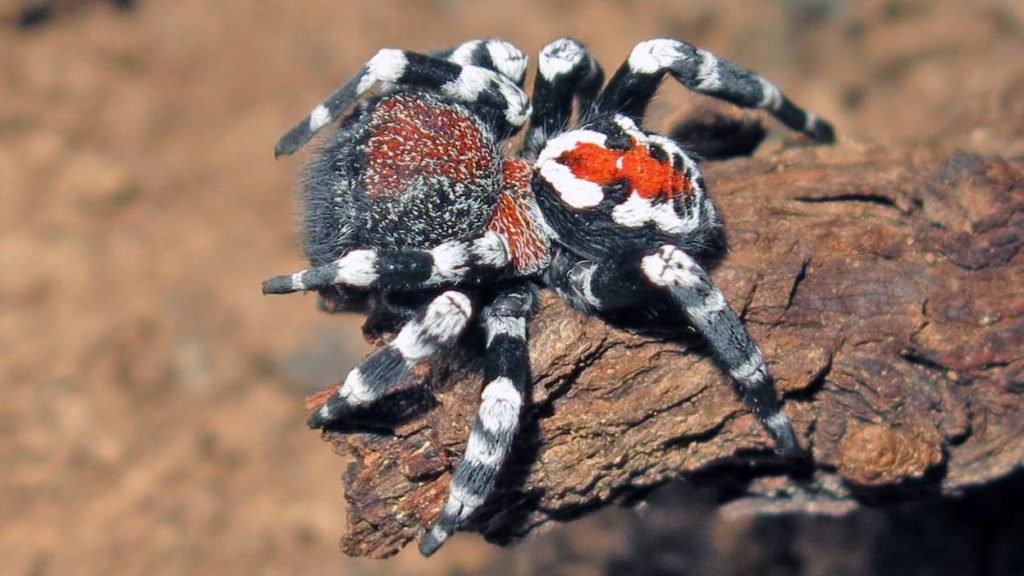 """Scientists Names Spider with Odd Color as """"Joker"""""""