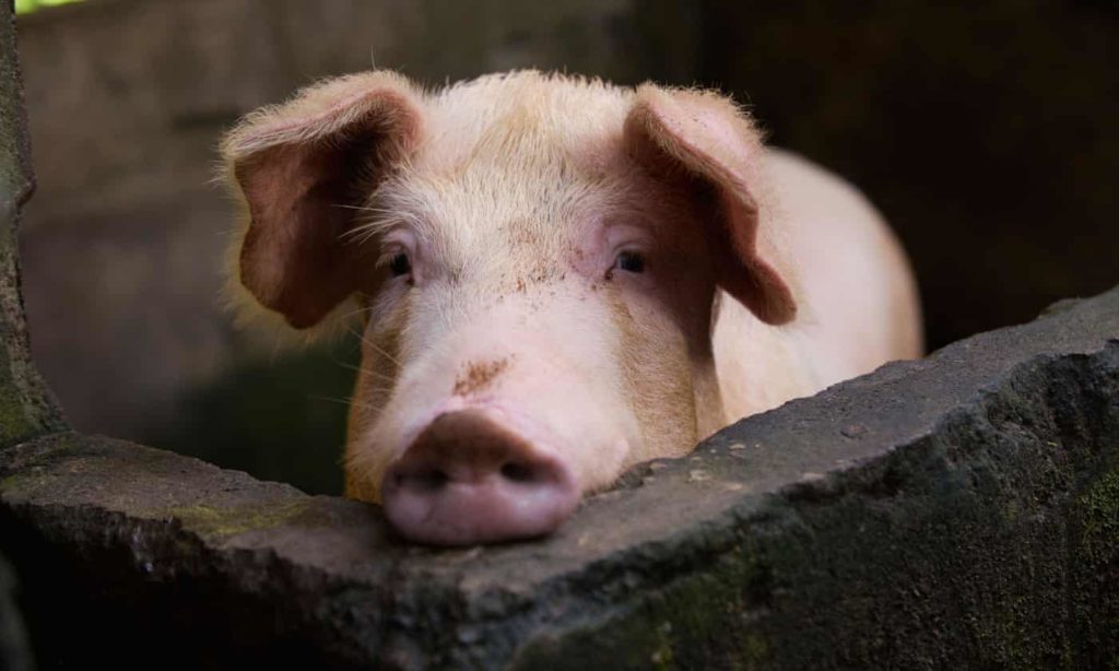Researchers Discover New SWINE Flu with Pandemic Potential