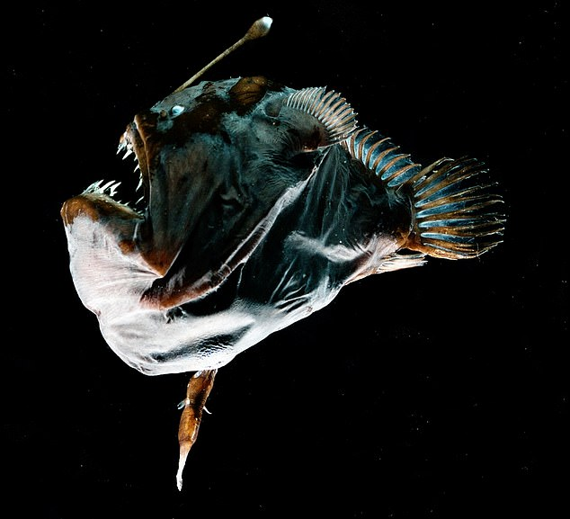 ANGLERFISH Fuses Body with Partner for Sexual Intimacy