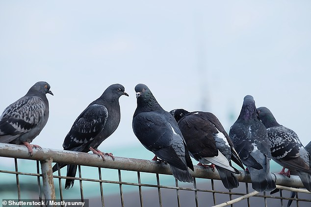 Fattening Up PIGEONS in the Park Can Make Them More Aggressive as Heavier Birds are Dominant