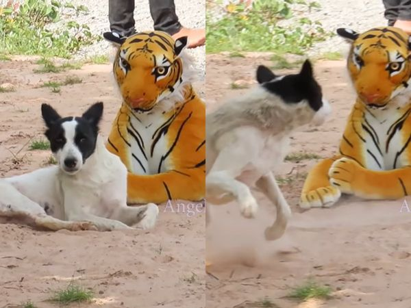 YOUTUBER Pranks Animals with a Stuffed Tiger in VIRAL Video