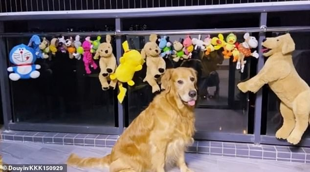Dog Wakes Up at Midnight to Guard His Recently Washed TOYS