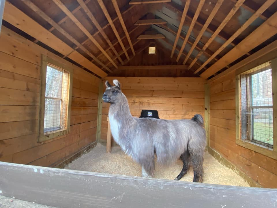 Animal Control Asks Help to Reconnect Wandering LLAMA with its Family