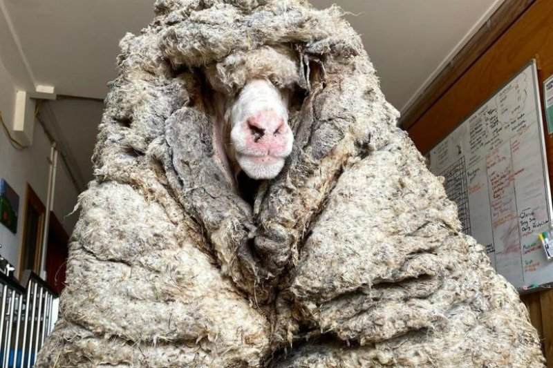 78-Pound WOOL Removed From Rescued Wild Sheep