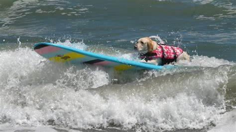 Dogs Show Off SURFING Skills in Florida Championships