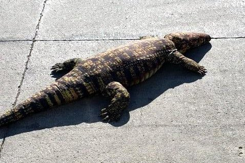 Suspected ALLIGATOR Turns Out as Life-Sized Toy
