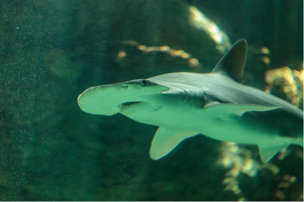 SHARKS Use Earth's Magnetic Fields for Long-Distance Journeys, Study Claims