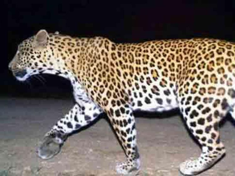 BROTHERS Escape Leopard with a BIRTHDAY CAKE
