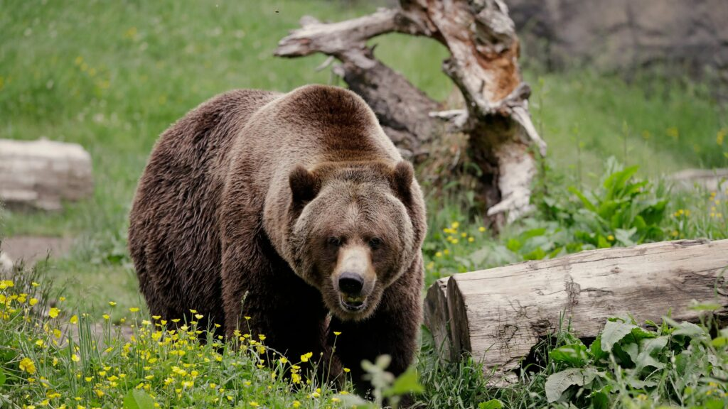 New York Officials Warn About Loose 'Harmless' BEAR